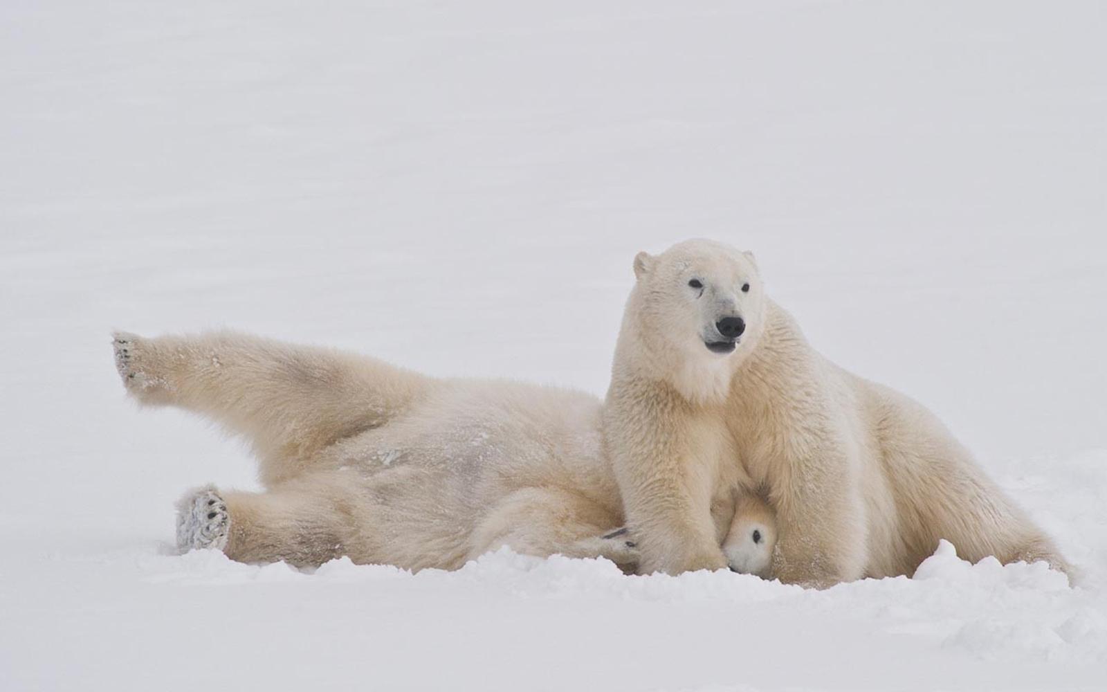 Eisbärenbeobachtung im Herbst