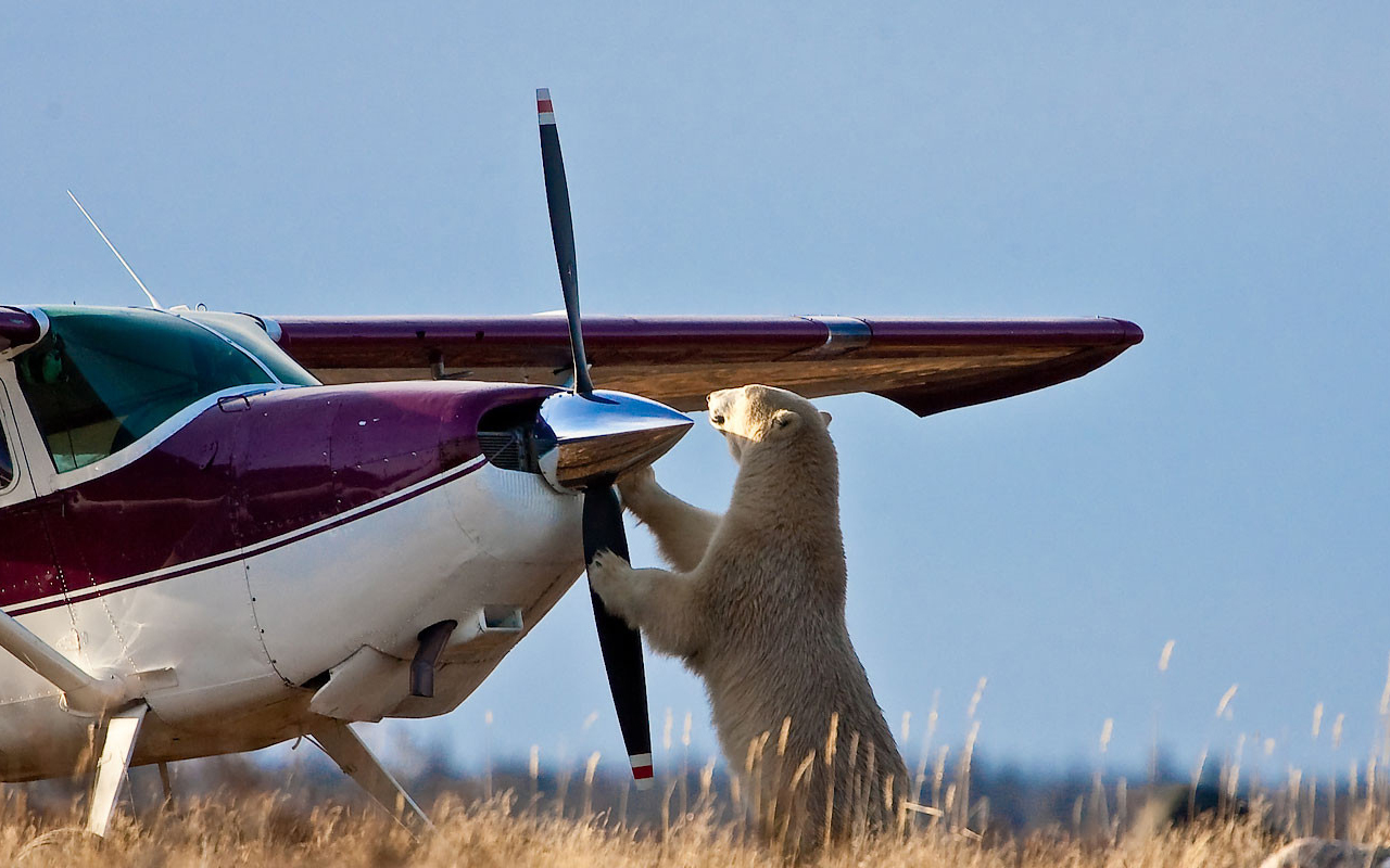 Eisbärenbeobachtung  im Sommer